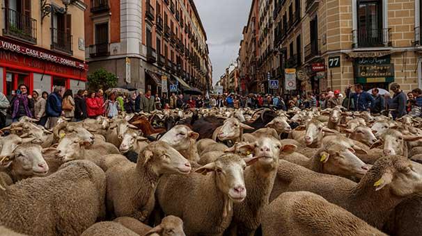 madrid-de-koyunlar-sehre-indi-7875558.jpeg